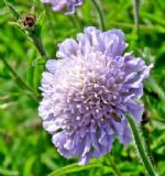 Field Scabious 100 seeds - FREE POST